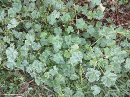 (Common Mallow,  Buttonweed, Cheeseplant, Cheeseweed)